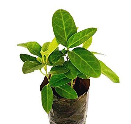 dambel plant