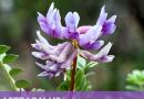 Astragalus Propinquus – An Overview | Planet Ayurveda