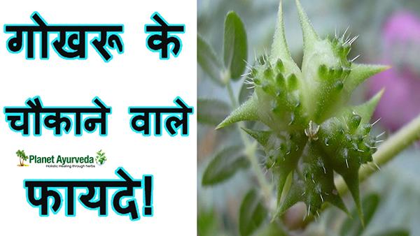 गोखरू एक महत्वपूर्ण वानस्पतिक औषधि
