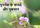 Punarnava- A Beneficial Herb (पुनर्नवा एक लाभदायक औषधि)
