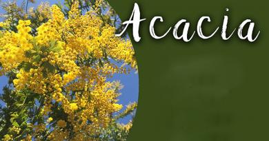 Acacia- A Medicinal Plant (बबूल एक औषधीय पौधा)