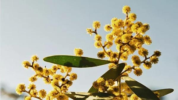 बबूल एक औषधीय पौधा