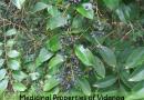 विडंग प्राकृतिक पौधे के औषधीय गुण (Medicinal Properties of Vidanga)