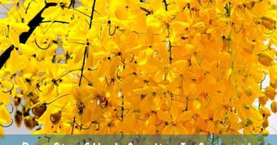 अमलतास का पौधा