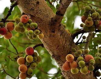 Ficus Glomerata Udumbara