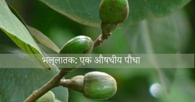 भल्लातक: एक औषधीय पौधा