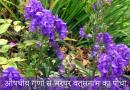 औषधीय गुणों से भरपूर वत्सनाभ का पौधा