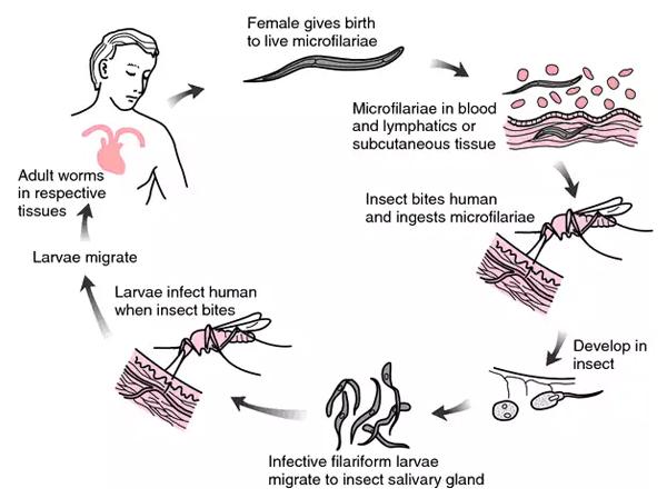 Herbal Treatment for Microfilaria